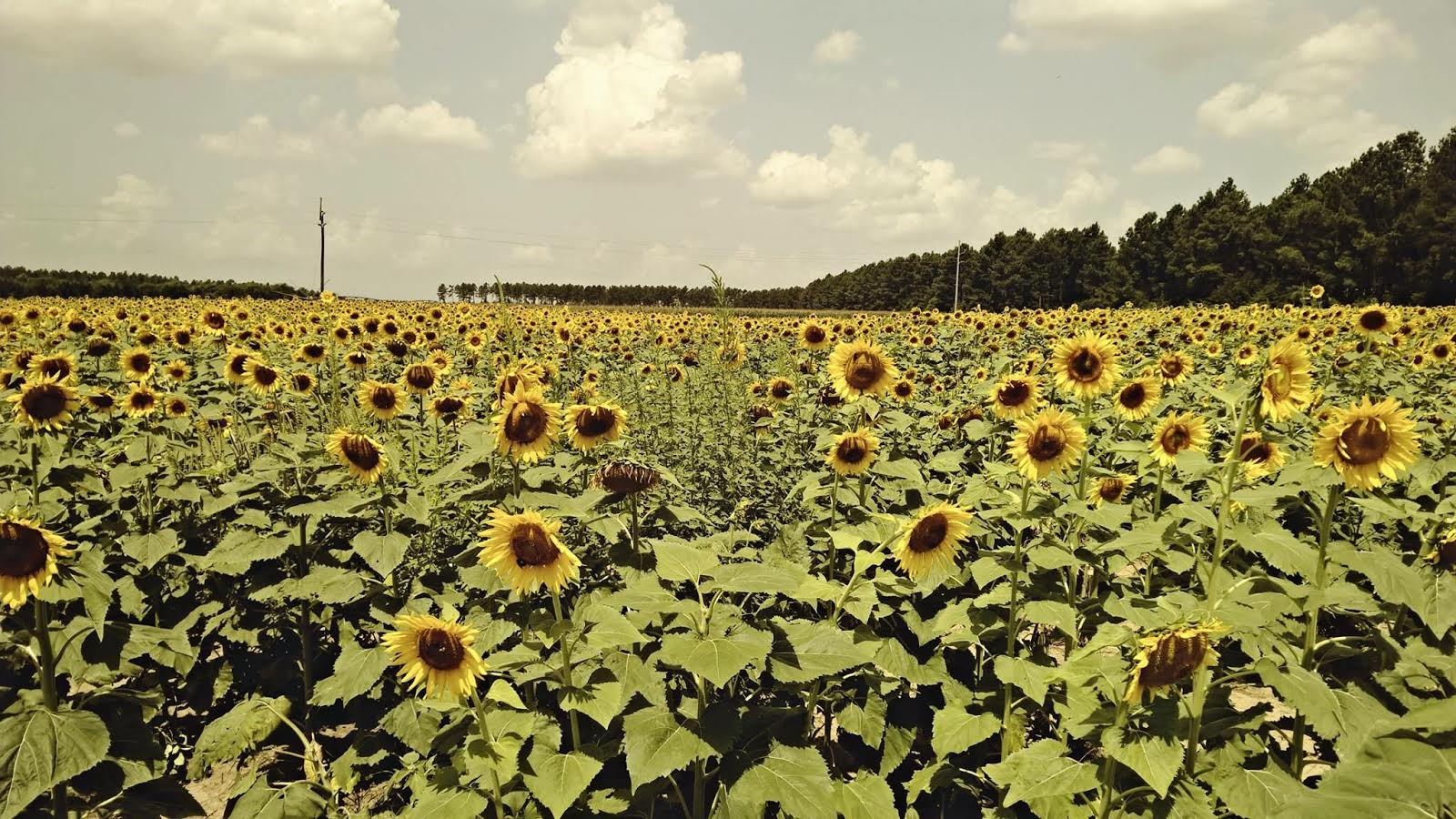 Emily's Sunflower Picture
