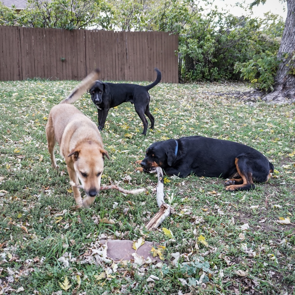 dogs in the front yard