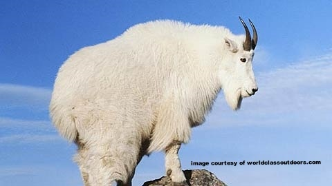 marketing mountain goat